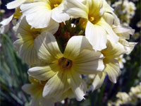 Sisyrinchium striatum, what else ?