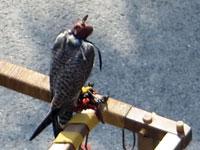 Pédibus pour faucons