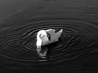 Cygnature aux étangs de Hollande